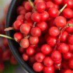 Schisandra, the plant that enhances memory and acts on the metabolism