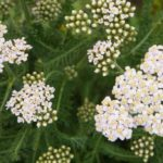 High blood pressure, the effects of the yarrow to lower it