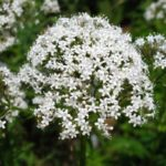 High blood pressure, the effects of valerian to lower it