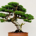 Bonsai: all the tips to take care of it and make it beautiful