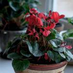 Indoor cyclamen: how to keep it in bloom