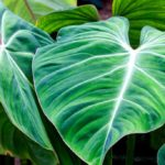 Philodendron at home: all the mistakes not to be made