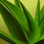 All the benefits of aloe vera: purifies, refreshes and cleanses our body