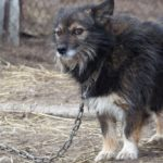 Cassation: tying animals to the chain is a crime