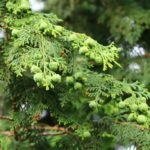 Cypress essential oil, an enemy of cough and cellulite