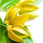 Essential oil of ylang ylang? It is relaxing and aphrodisiac