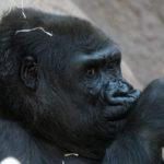 Gorilla killed at the Cincinnati Zoo to save a child