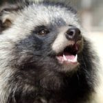 Tanuki: the raccoon dog comes from Asia