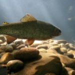 The beneficial properties of trout