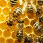 Apis: what is this natural remedy and how to use it