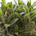 Sage: a plant with many virtues, without abusing it