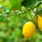 Some advice for growing lemons on the terrace