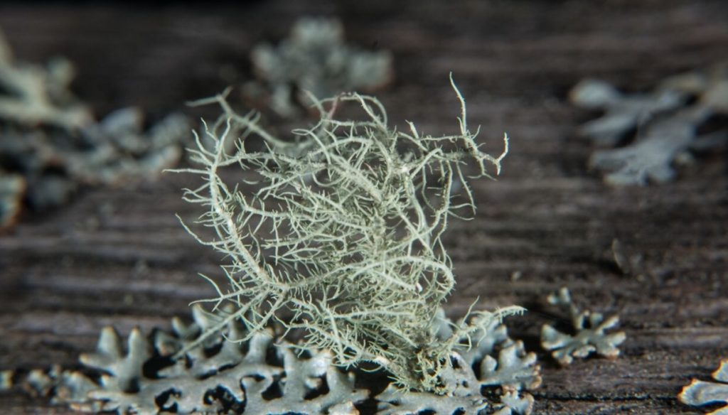 Usnea to fill up on antioxidants and protect the skin