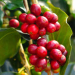 Coffee berries, the beneficial effects on the diet