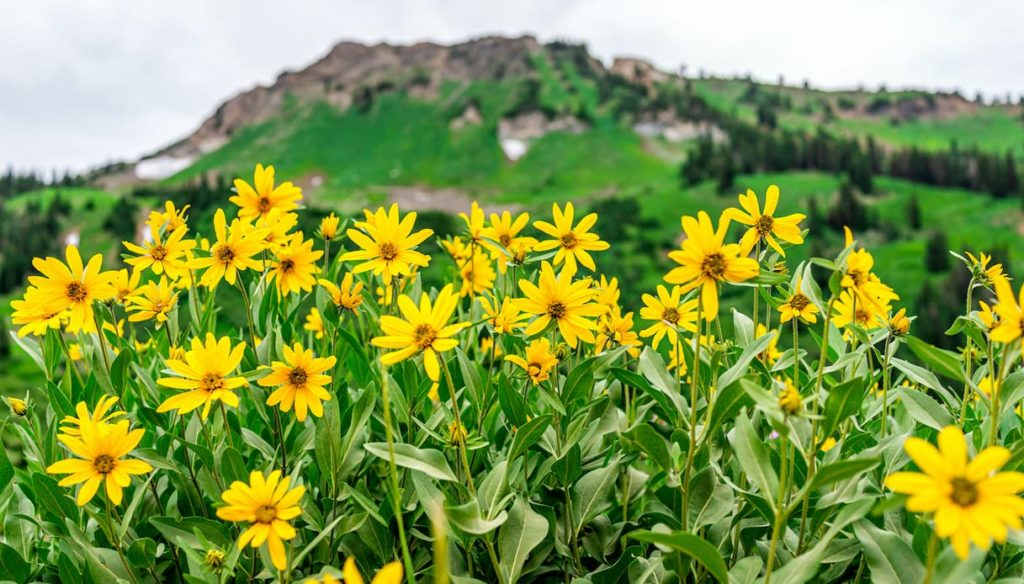 Arnica: against muscle aches, bruises and hair loss