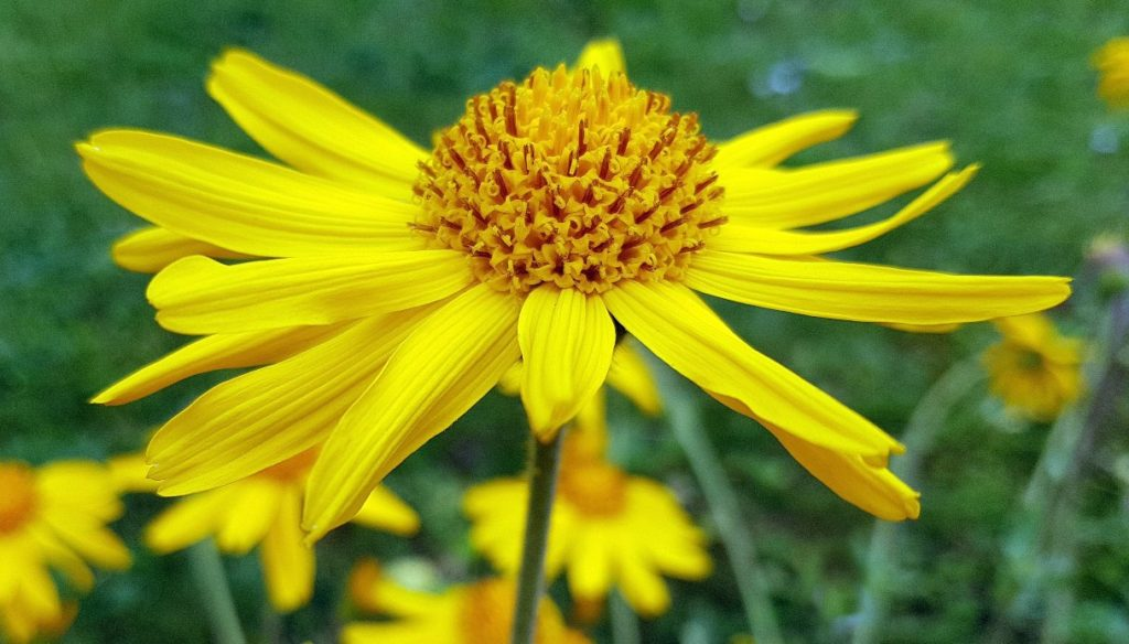 Arnica: properties, benefits and contraindications