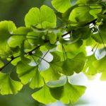 Ginkgo biloba: benefits, effects and contraindications