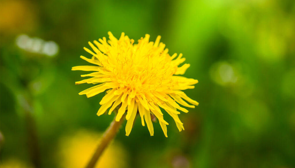 Dandelion: properties, benefits and uses in the kitchen